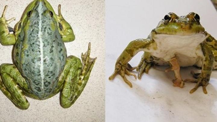 На берегу Исети учёные УрФУ нашли лягушек-мутантов