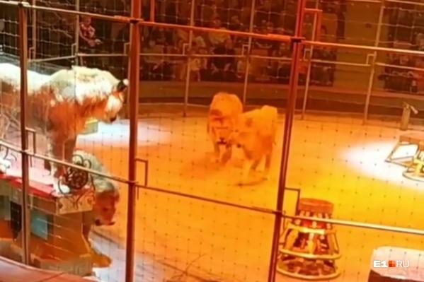 На льва, который пытался защищать самку, набросились два брата