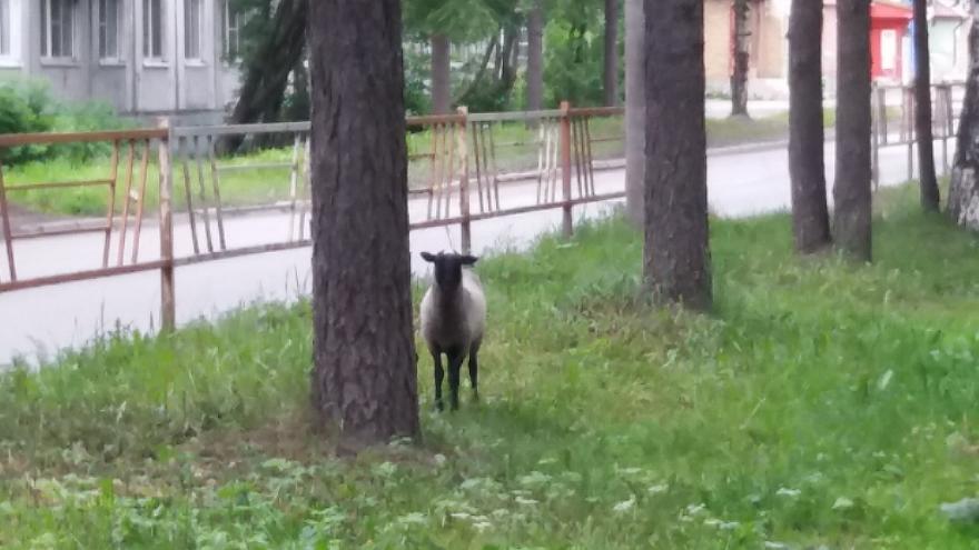 Щипал траву, бегал за собаками: утром в центре Архангельска гулял одинокий барашек