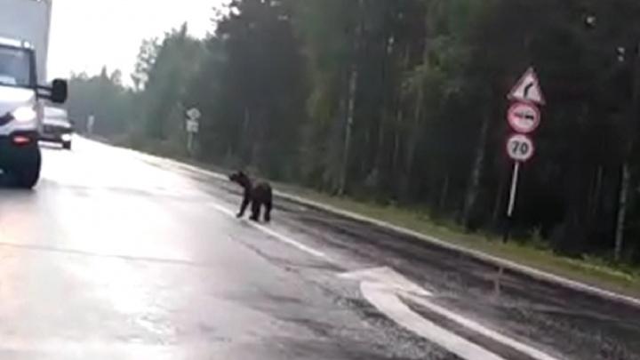 «А мамаша где?»: на Серовском тракте медвежата вышли к водителям и просили еду