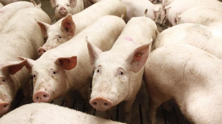 В Курганской области готовятся к борьбе с африканской чумой свиней