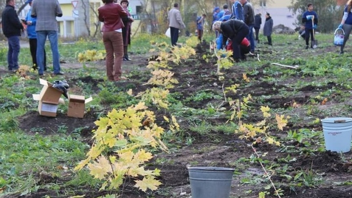 «Это очень нужно городу»: челябинские дворы засадят канадскими клёнами
