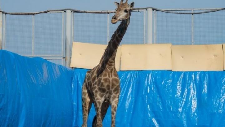 Закормленную до болезни посетителями зоопарка жирафа Принцессу спасли от гибели