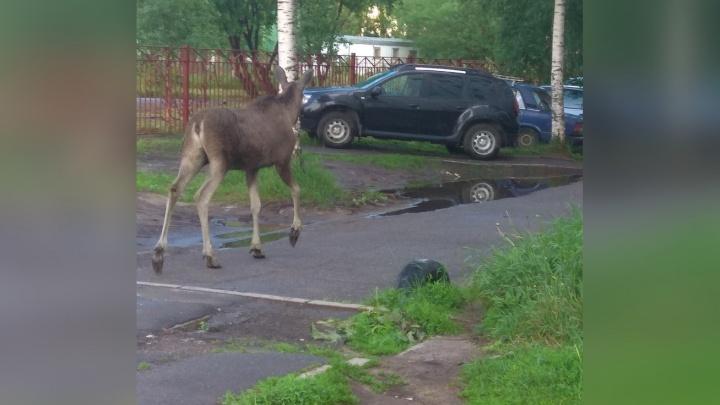 В центре Архангельска гуляет лось