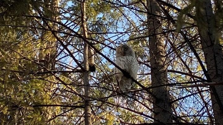 Вылитая Букля: в студгородок НГТУ прилетела сова— в городе птица ищет еду