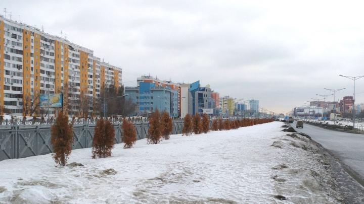 Высохшие туи на Московском шоссе заменят другими деревьями