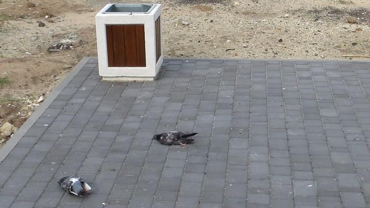 Центр Волгограда заполонили трупы голубей