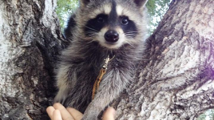 «Её хотел купить контактный зоопарк»: хозяйка енота Лизы рассказала о спасении незрячего зверька