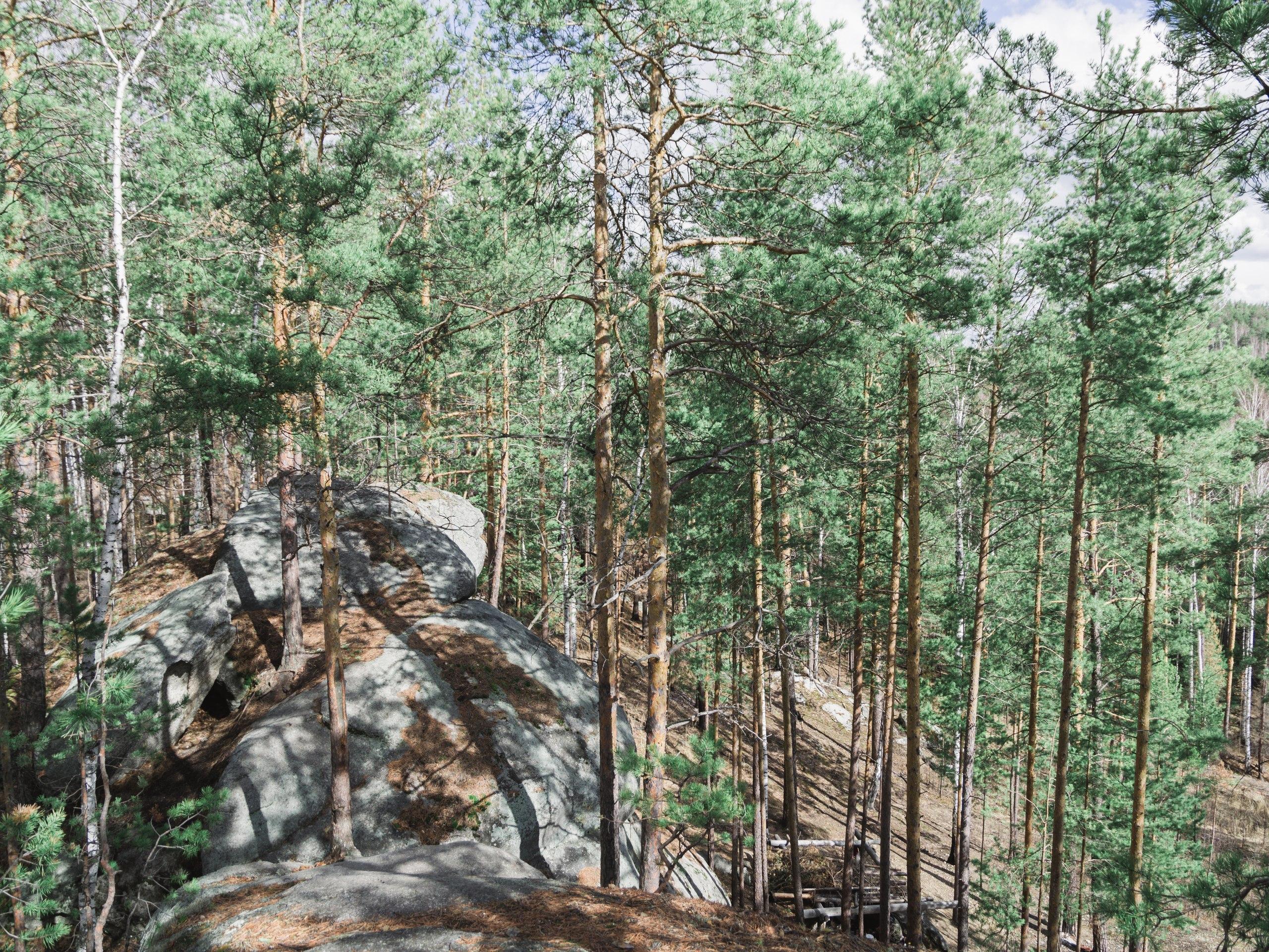 Хвойный лес сухой и чистый