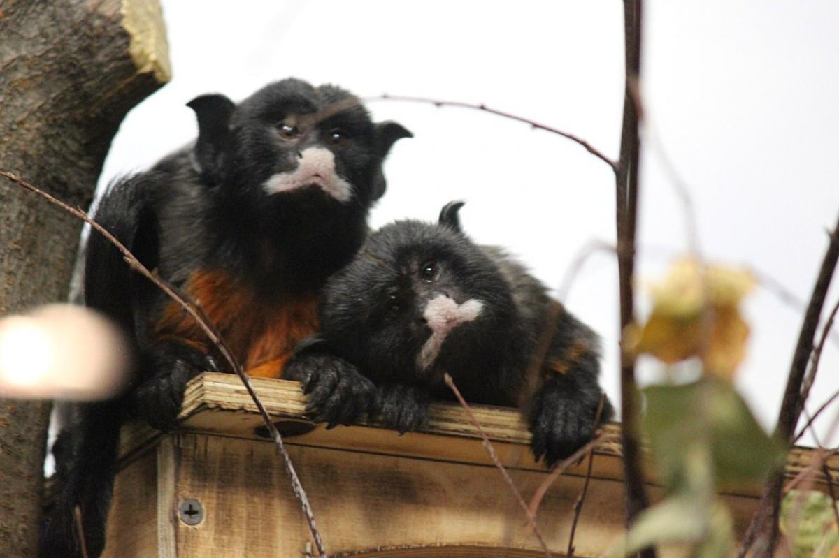 ВНовосибирский зоопарк прибыла пара уникальных тамаринов