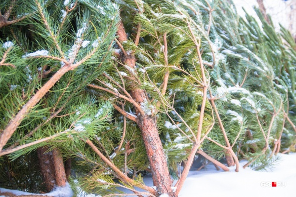 Чиновники заключили 25 договоров на сезонную торговлю хвойными деревьями с индивидуальными предпринимателями