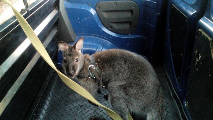 «Рычит как собака»: владелец зоотакси рассказал о кенгуру, который ездил в ветклинику