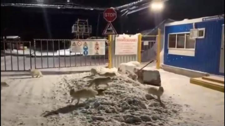 Видео: песцы стали выходить целыми стаями к жителям Дудинки