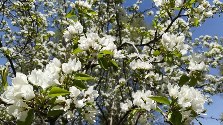 Фото: в Новосибирске зацвели яблони и груши