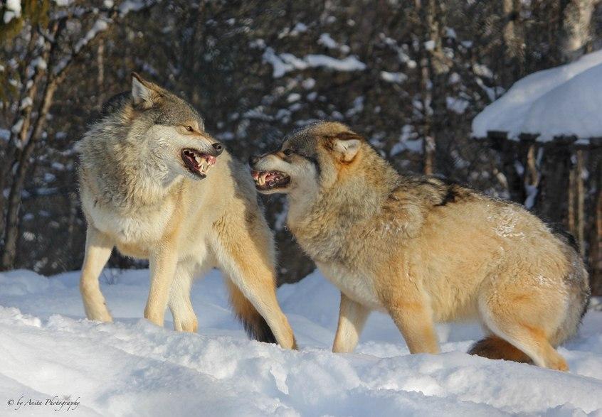 Фото битвы волков