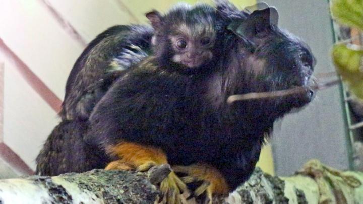 У обезьянок размером с ладонь в зоопарке появилось очаровательное потомство