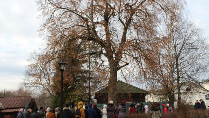 Из ярославской двухвековой липы сделали памятник