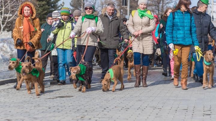 На праздновании Дня святого Патрика к собакам ирландских пород присоединились таксы-лепреконы