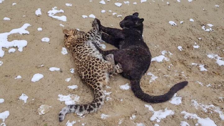 Тюменской пантере Багире привезли пятнистого жениха-леопарда. Похоже, у них любовь