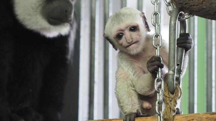 В семье обезьянок с умными мордочками родился красивый детеныш