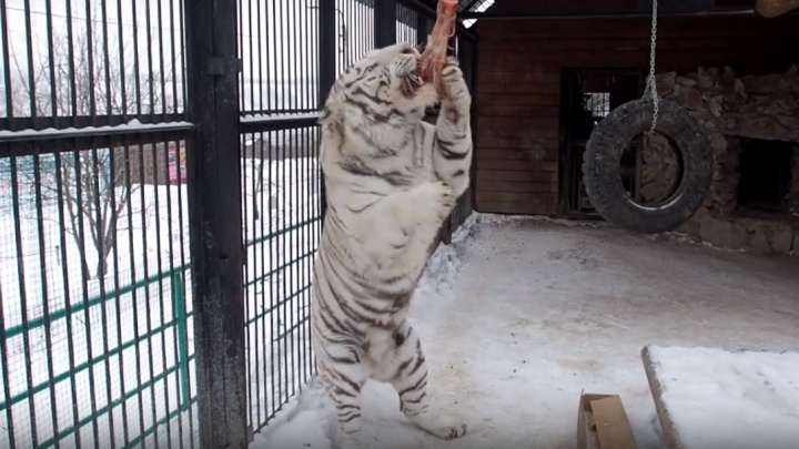 В зоопарке показали охоту белого тигра за лакомым кусочком мяса
