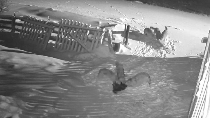 Стая волков загрызла собак во дворе частного дома в Нёноксе. Это записала камера видеонаблюдения
