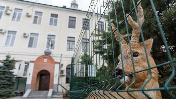 «Кидались и на сторожа»: стая собак растерзала косулю в зоосаду волгоградского монастыря