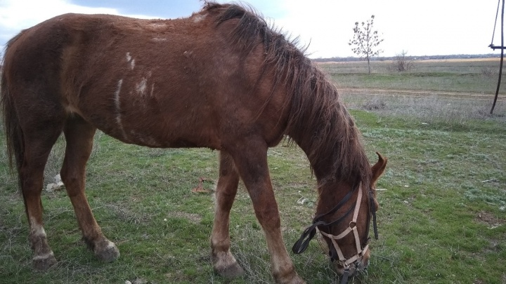 «У нее есть всего восемь дней»: волгоградцы спасают молодую истерзанную лошадь от убоя