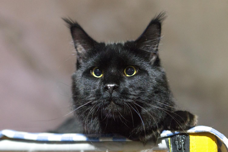На выставку привезли десятки кошек множества пород