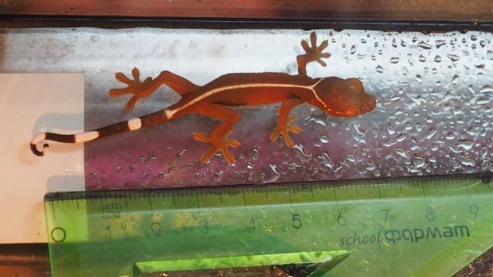 На глазах у посетителей в зоопарке Красноярска вылупился полосатый геккон