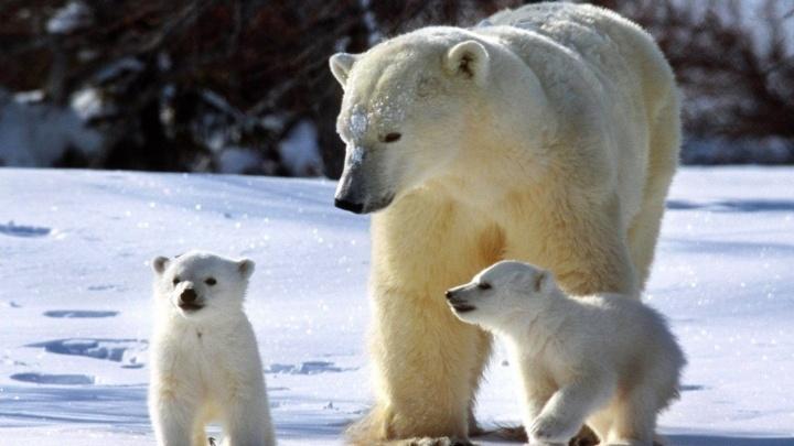 Ярославцев накормят бургерами с олениной и отправят к белым медведям