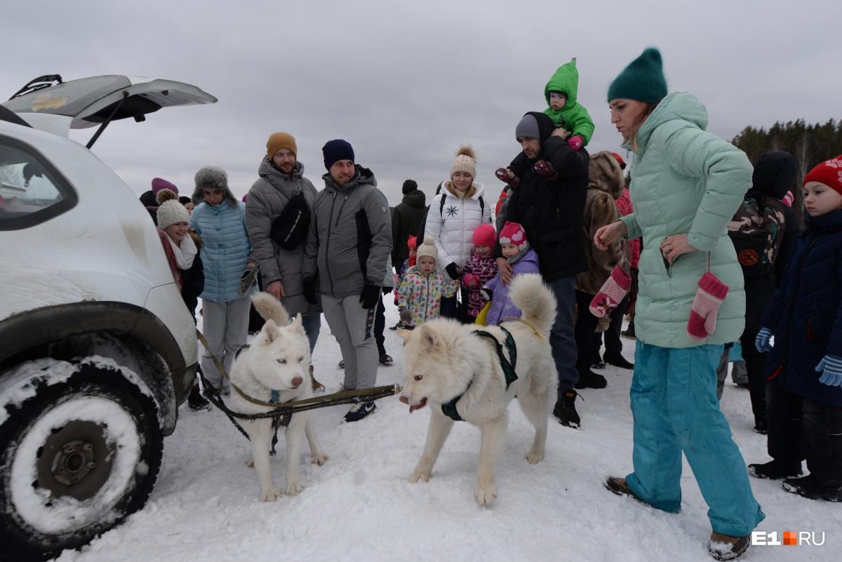 Гостей «Белой лошади» катали в собачьих упряжках