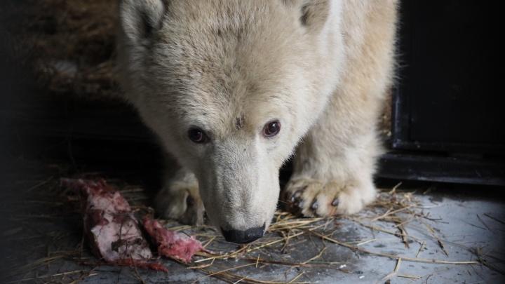 Для юной белой медведицы с Диксона выбрали имя