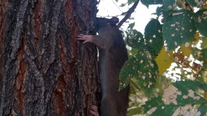 «Это же новая белка»: в Волжском огромная крыса разгуливает по центру и пугает собак