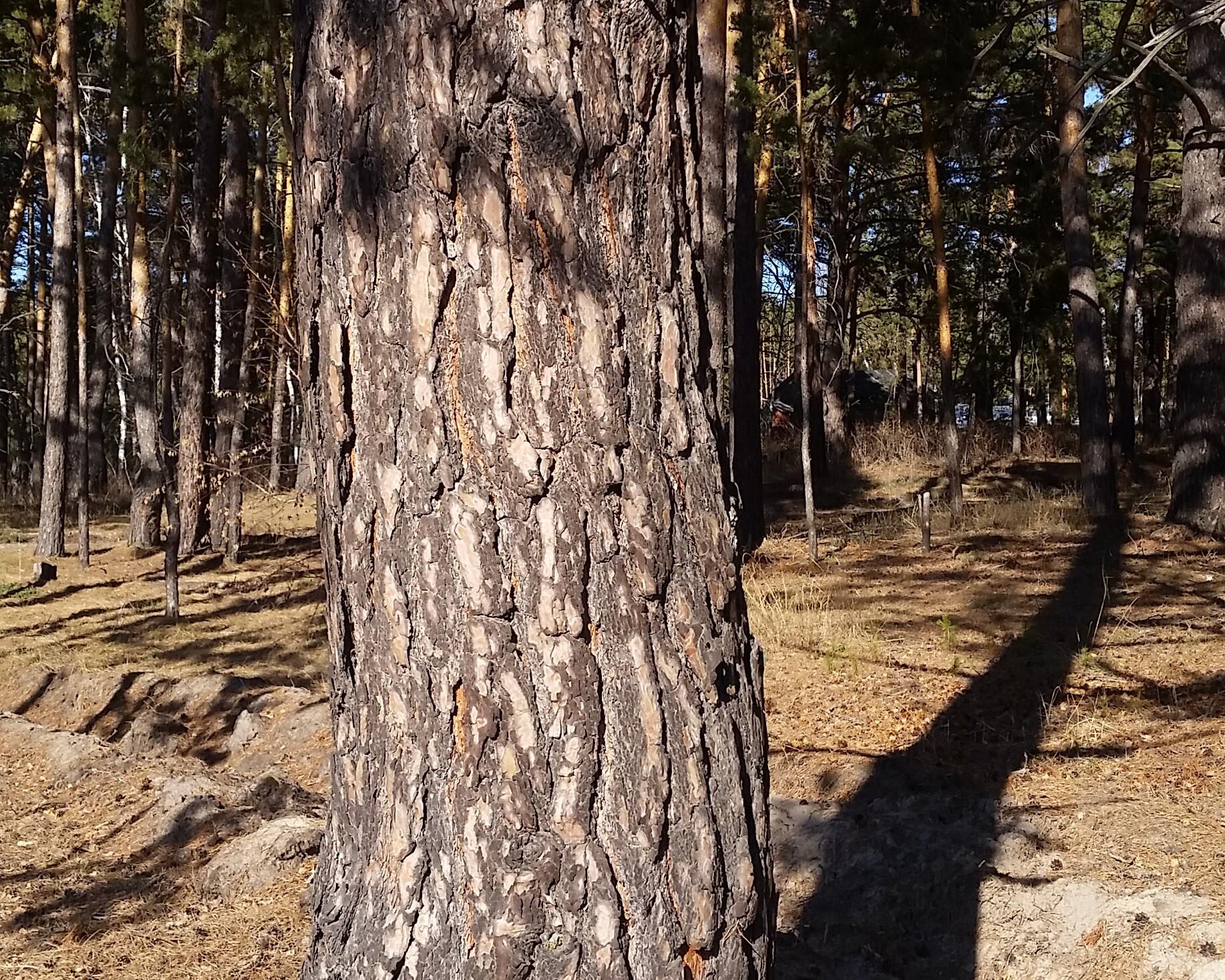 Старожилы утверждают, что возраст некоторых деревьев превышает 100 лет