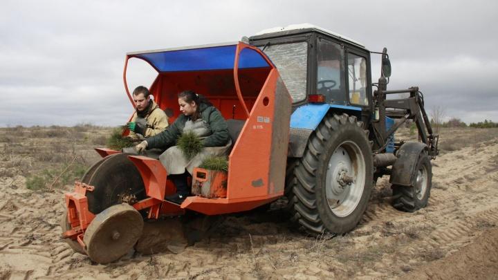 Меняют теплицы на лес: 200 тысяч саженцев сосны и акации высадятпод Волгоградом