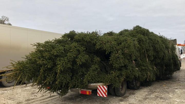 «Решили не пороть горячку»: елка приедет в Екатеринбург только сегодня вечером