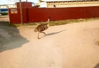 В Солонцах заметили бегающего по улицам страуса