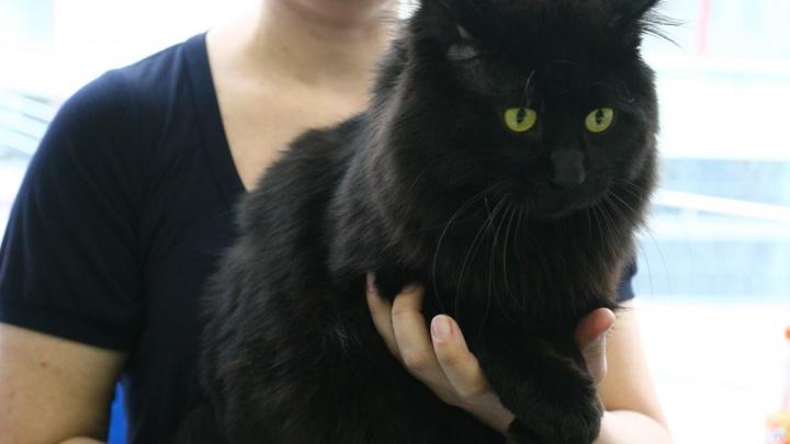 «Животных пытают»: новосибирцев просят не отдавать новым хозяевам чёрных котов перед Хеллоуином