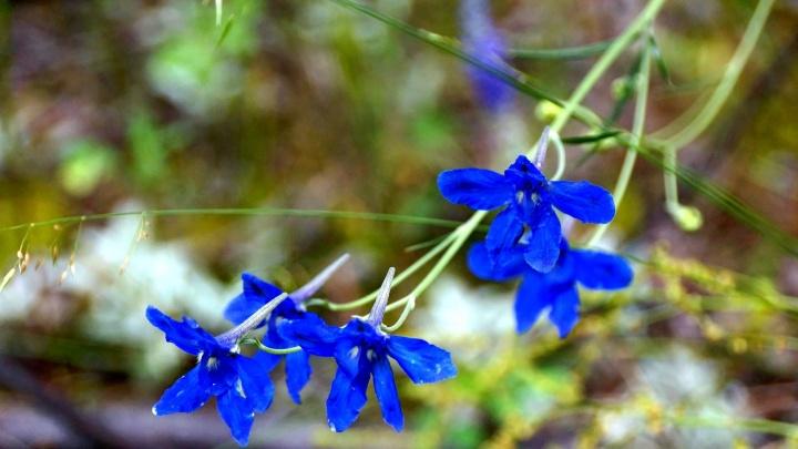 Смертельно опасный цветок зацвёл в красноярском заповеднике