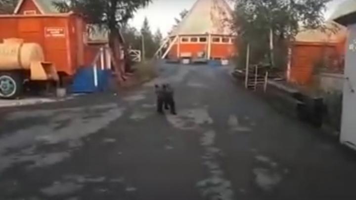 На базу отдыха в Норильске пришел молодой медведь