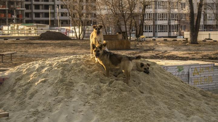 «Нас еще не покусали, и это везение»: в Волгограде большая стая собак терроризирует жилой комплекс
