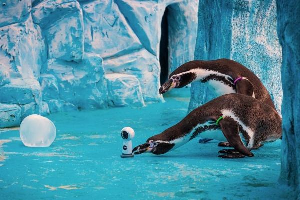 Зимой пингвинам в зоопарке поставили камеру, с помощью которой можно было разглядеть их вольер на 360 градусов.