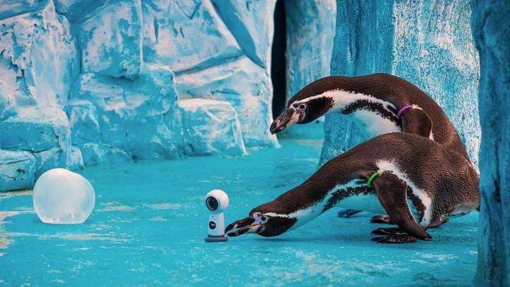 Смешных очковых пингвинов в «Роевом ручье» переселили в летний вольер с бассейном