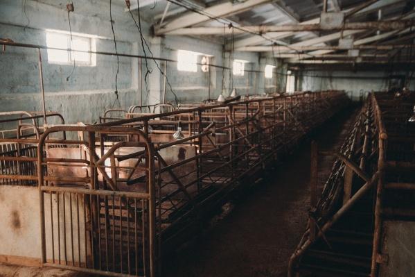 Позапрошлой весной на предприятии «Комплекс» в Шорохово обнаружили африканскую чуму свиней. В селе месяц работали специалисты — они уничтожали всех свиней в карантинной зоне, чтобы не допустить распространения болезни. На свинокомплексе убили все поголовье свиней