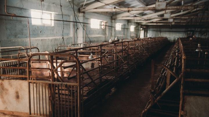 Со свинокомплекса в Шорохово требуют 58 миллионов за проведение карантина из-за африканской чумы