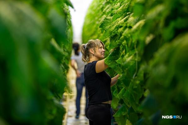 «Сады Гиганта» открыли самую большую очередь тепличного комплекса