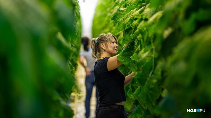 Овощные гиганты: репортаж из Кольцово, где выращивают 20-метровые помидоры и вводят картофель в спячку
