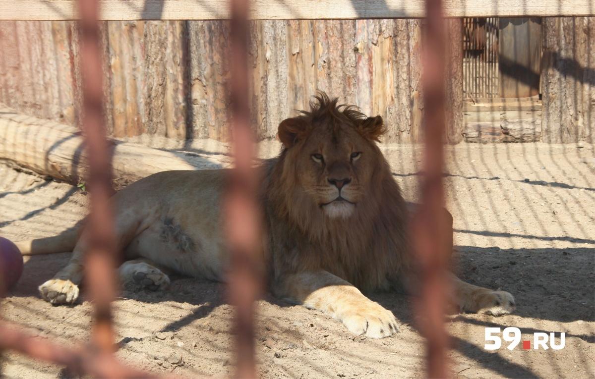 Леро выздоровел и радует своей красотой посетителей зоопарка. Настоящий царь зверей