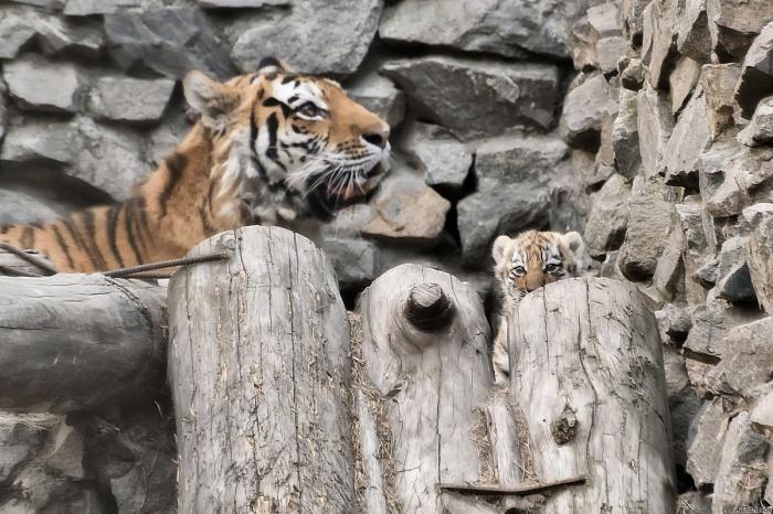 Амурская тигрица с котёнком